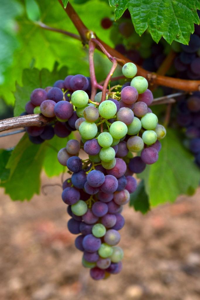 Véraison grappe de raisin