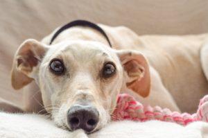 Portrait d'un chien sur un canapé