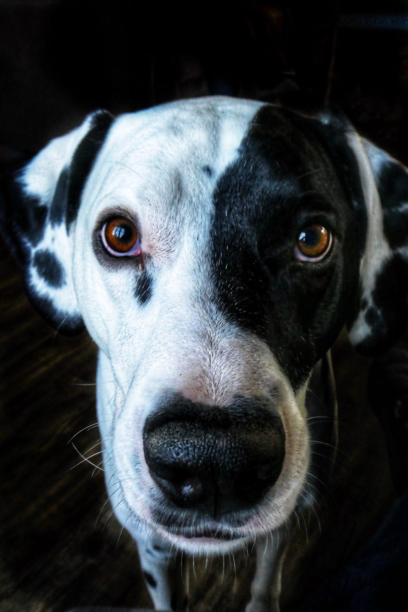 Face chien noir et blanc