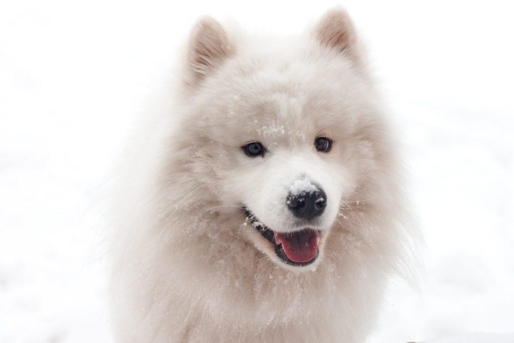 Portrait chien samoyède blanc